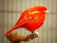 Ciri Umum Burung Kenari Merah Beserta Gambar Dan Harga Terbarunya