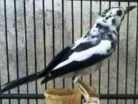 Daftar Harga Resmi Burung Murai Batu Terbaru