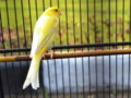 Jenis Pakan Terbaik Burung Kenari Agar Rajin Gacor Dan Ngerol Panjang