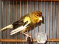 Cara Mengembalikan Suara Burung Kenari Yang Serak Atau Hilang