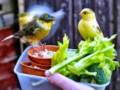 Jenis Pakan Tambahan Kesukaan Burung Kenari Agar Rajin Gacor