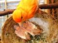 Jenis Pakan Terbaik Indukan Burung Kenari Agar Piyek Cepat Besar