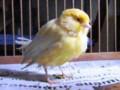 Cara Merawat Burung Kenari Kurus Atau Nyilet Agar Kembali Gemuk