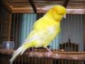 Cara Merawat Burung Kenari Mabung Secara Tuntas Agar Cepat Bunyi