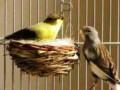 Cara Mudah Mengatasi Indukan Burung Kenari Macet Bertelur