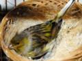Cara Paling Efektif Agar Indukan Burung Kenari Cepat Bertelur