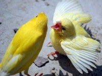 Cara Pemasteran Burung Kenari Bakalan Atau Yang Gacor Dengan Mp3