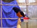 Mengenal Ciri Umum Burung Murai Jambi Beserta Harga Terbarunya