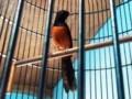 Mengenal Ciri Umum Burung Murai Nias Beserta Harga Terbarunya