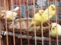 Panduan Lengkap Cara Beternak Burung Kenari Khusus Pemula