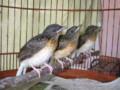 Cara Beternak Burung Murai Batu Beserta Analisa Usahanya