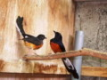 Cara Mudah Menjodohkan Burung Murai Batu Agar Cepat Jodoh