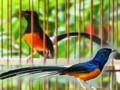 Cara Paling Mudah Membedakan Burung Murai Batu Jantan Dan Betina