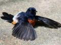 Jenis Penyakit Burung Murai Batu Beserta Cara Penanganannya