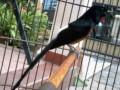 Perawatan Burung Murai Batu Menjelang Lomba Agar Jadi Juwara