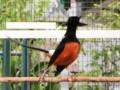 Perawatan Harian Burung Murai Batu Lomba Agar Rajin Gacor