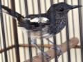 Cara Mudah Merawat Burung Kacer Trotolan Agar Rajin Bunyi