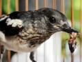 Jenis Makanan Yang Disukai Burung Kacer Agar Rajin Bunyi Setiap Hari