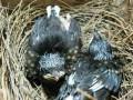 Pakan Anakan Burung Kacer Umur 6-30 Hari Atau Sampai Panen