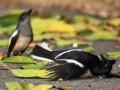 Jenis Penyakit Yang Paling Sering Menyerang Burung Kacer Lomba