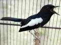 Cara Ampuh Meningkatkan Birahi Burung Kacer Agar Cepat Bertelur