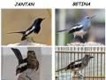 Cara Mudah Membedakan Burung Kacer Jantan Dan Betina Secara Fisik