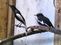 Cara Mudah Menjodohkan Burung Kacer Galak Agar Cepat Kawin Dan Bertelur