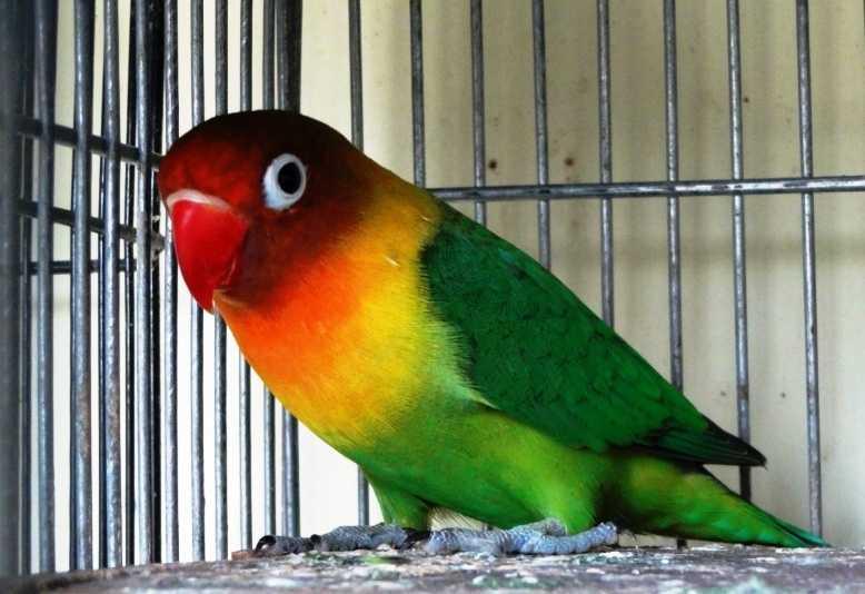Download 82 Foto Gambar Burung Lovebird Beserta Namanya  Terbaru Free