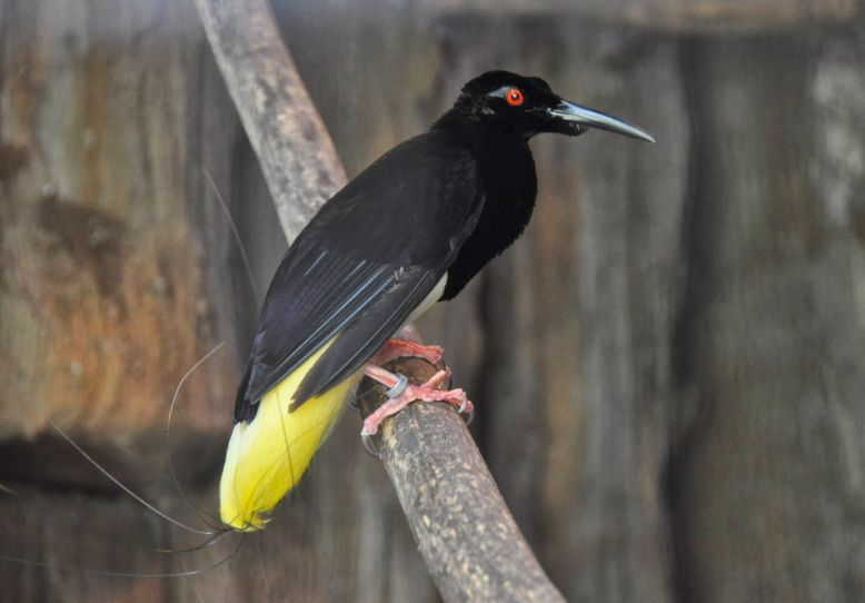 66 Gambar Burung Cendrawasih Mati Kawat HD Terbaru