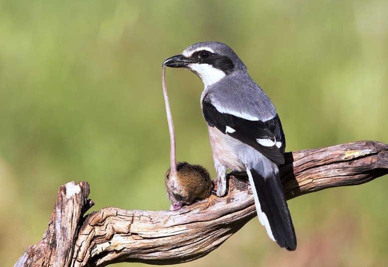 Suara 5 Jenis Burung Cendet Bentet Pentet Tercantik Harga