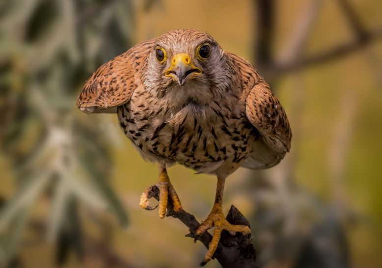 91 Koleksi Gambar Burung Elang Bondol Terbaru