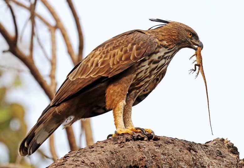54+ Gambar Burung Rajawali Terbesar Terbaru