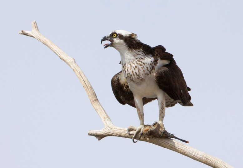 6800 Koleksi Gambar Burung Elang Sumatera HD Terbaik