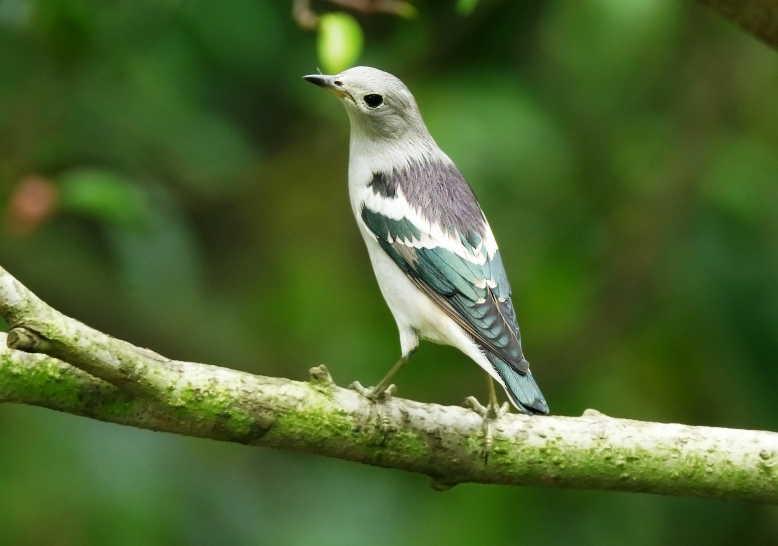 63 Gambar Burung Jalak Bali Jantan Gratis Terbaik
