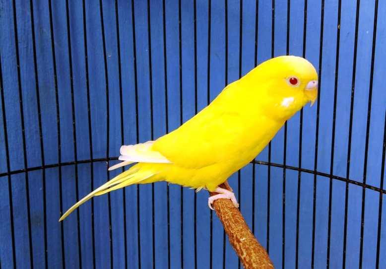 Suara 7 Jenis Burung Parkit Yang Bagus Gambar Dan Pakan