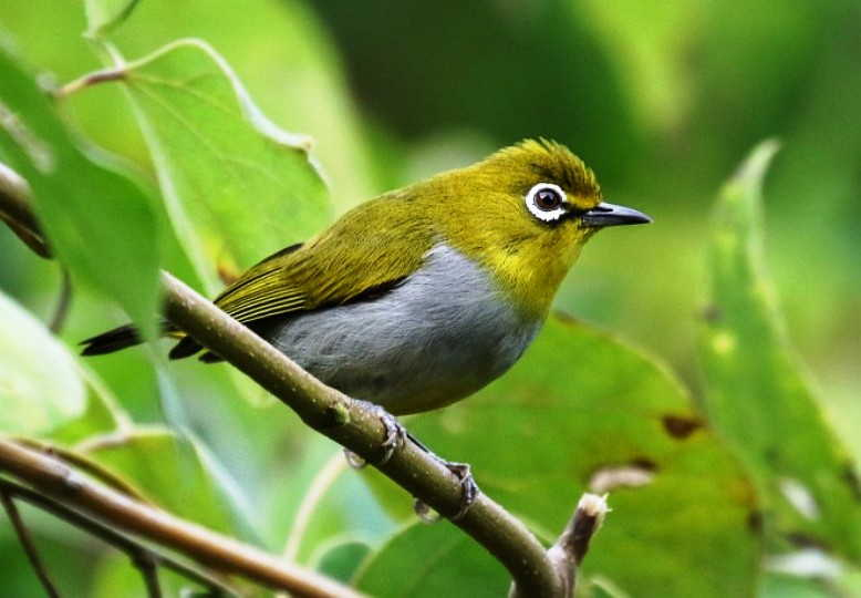 Download 78+ Gambar Burung Pleci Paling Baru Gratis