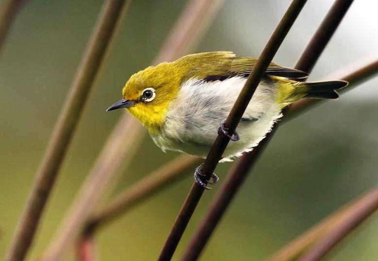 √ 8 Jenis Burung Pleci Yang Dilombakan (Gambar Dan Ciri Fisik) c937ae277e