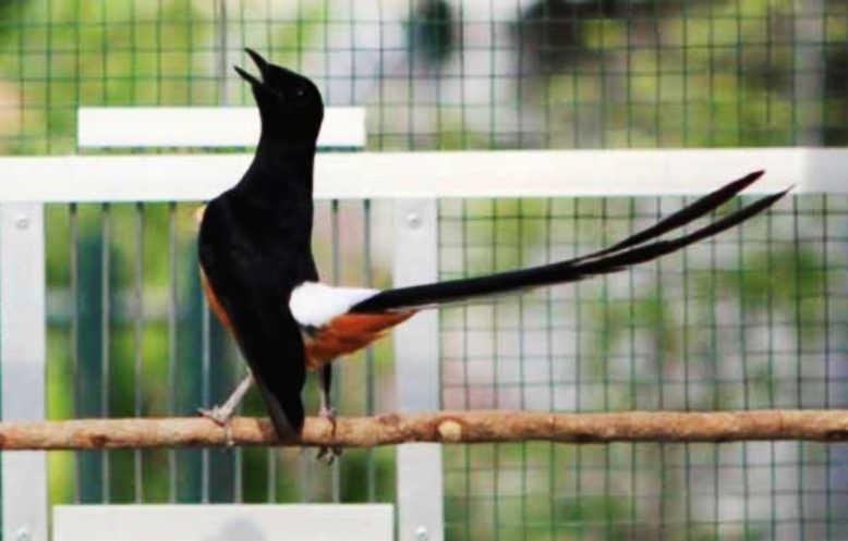 Suara 9 Jenis Burung Murai Batu Gacor Harga Gambar