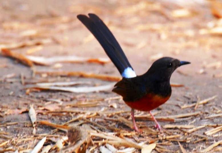 Terbukti 5 Cara Mengatasi Burung Murai Batu Over Birahi Tinggi