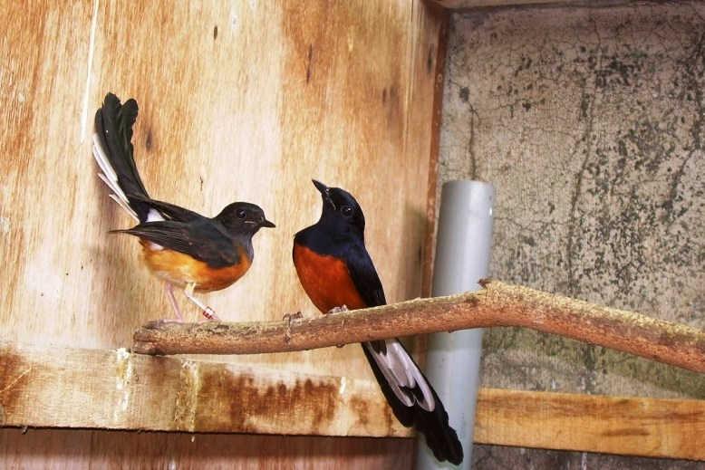 Terbukti 5 Cara Menjodohkan Burung Murai Batu Galak