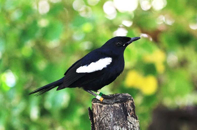 Harga 3 Jenis Burung Kacer Jawa Hitam Lokal Suara