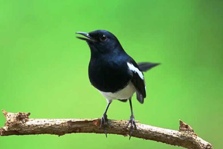 Terbukti 6 Cara Merawat Burung Kacer Biar Cepat Gacor