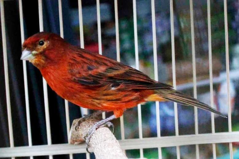 Harga 3 Suara Burung Kenari Black Red Gacor Jenis Gambar