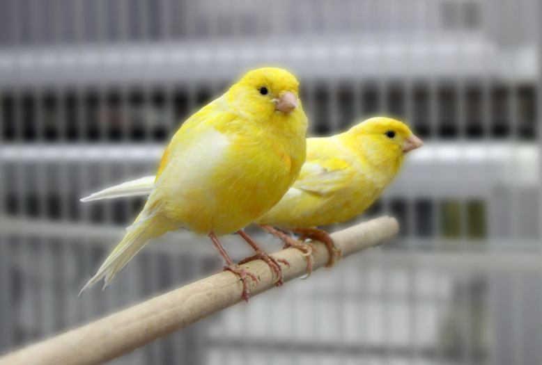 Download Suara Burung Kenari Gacor Terindah Mp3 Harga