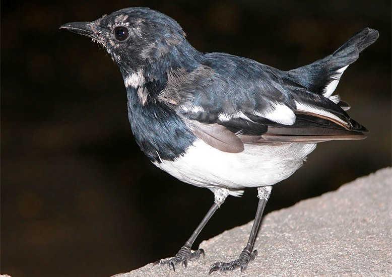 Harga 2 Suara Burung Kacer Blorok Gacor Jenis Gambar