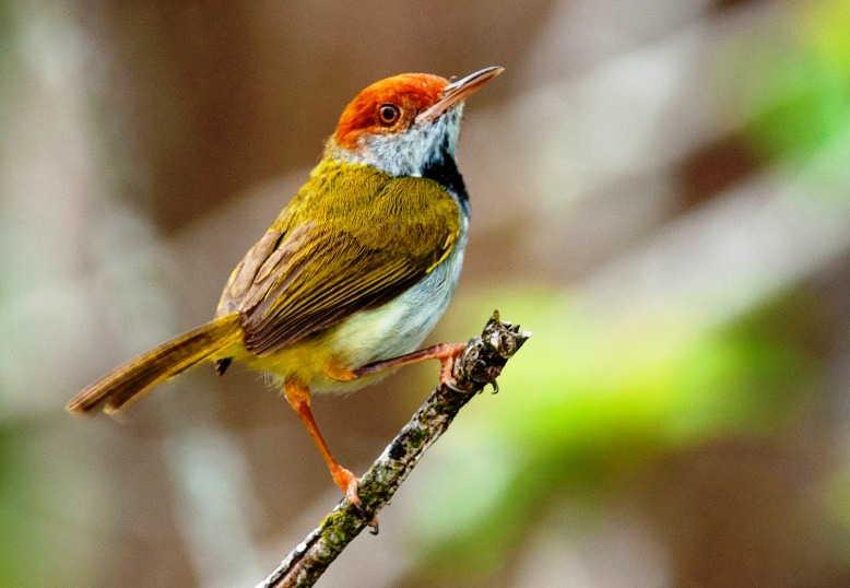 Download Suara Burung Prenjak Lumut Kepala Merah Sawah Mp3 Harga