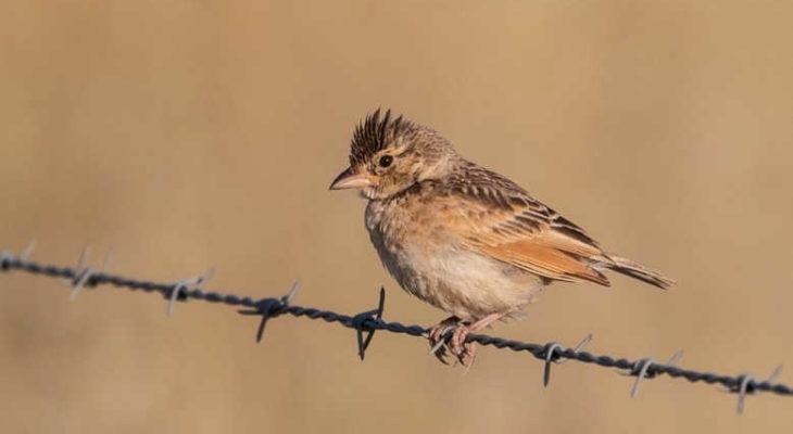 Download Suara Burung Branjangan Nembak Ngriwik Mp3 Harga