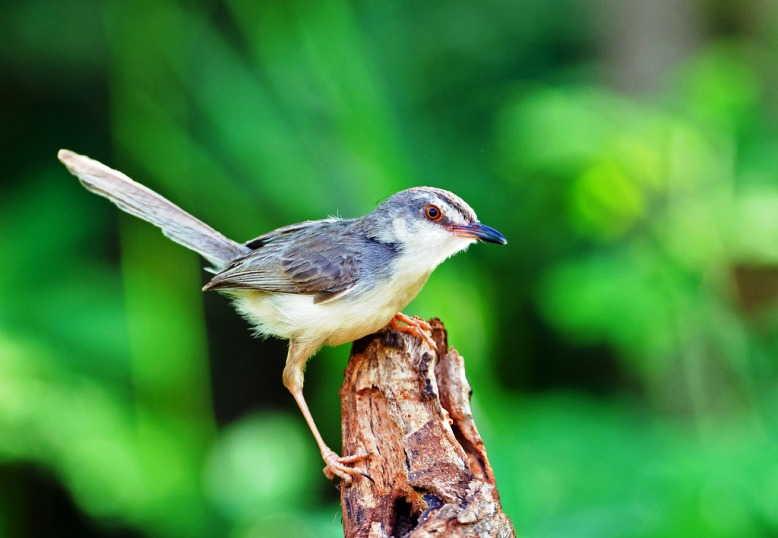 Download Suara Burung Ciblek Gacor Ngebren Mp3 Harga