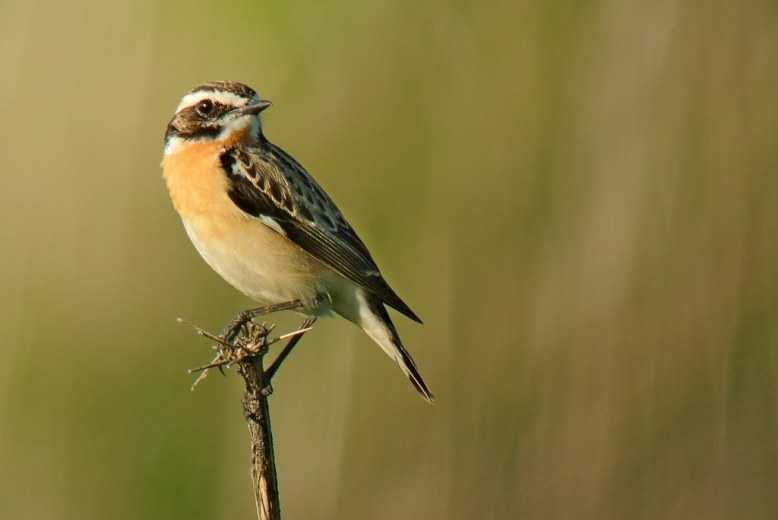 Download Suara Burung Decu Mini Ngerol Gacor Mp3 Harga