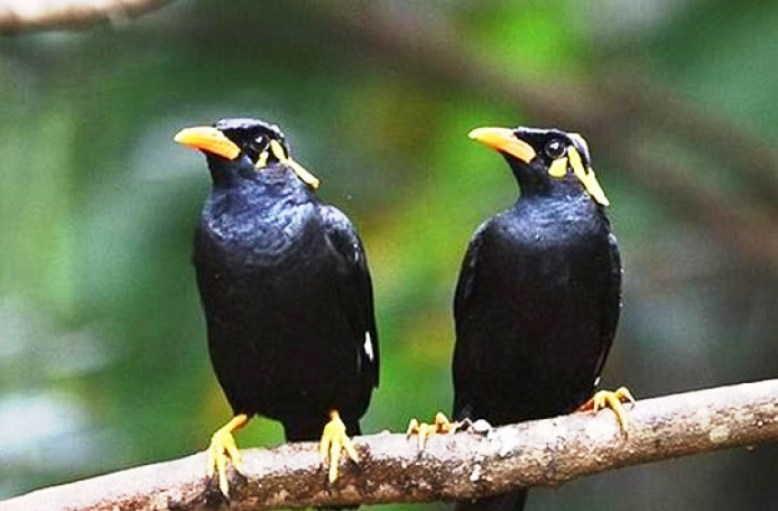 Download Suara Burung Beo Nias Bicara Ngomong Mp3 Harga